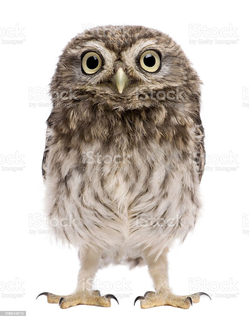 Little Owl, 50 days old, Athene noctua, standing. stock photo