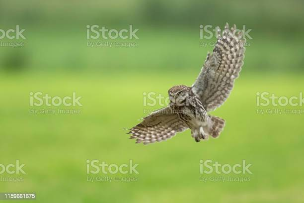 Little owl athene noctua bird of prey in flight picture id1159661675?b=1&k=6&m=1159661675&s=612x612&h=xd3lpsr zijzwxmy kwlbiu1fnha6vdzmxttuhlkcw0=