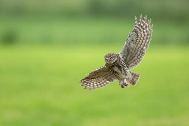 Little owl athene noctua bird of prey in flight picture id1159661675?b=1&k=6&m=1159661675&s=612x612&w=0&h=yaljbhqjcf9wpyylfng9 i 0hrz8joxmh2o8edq6uve=