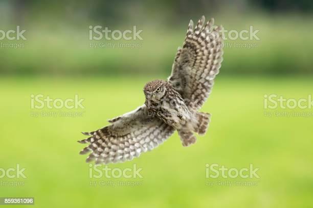 Little owl athene noctua bird of prey in flight picture id859361096?b=1&k=6&m=859361096&s=612x612&h=igtoxscsafa7puvvys4z 46w6dzbirskshmnoeunl2u=