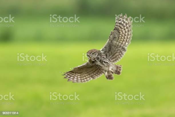 Little owl athene noctua bird of prey in flight picture id905311914?b=1&k=6&m=905311914&s=612x612&h=w gmb sdf6wivphzgy0fphykietkg4vodgisj7c7g5e=