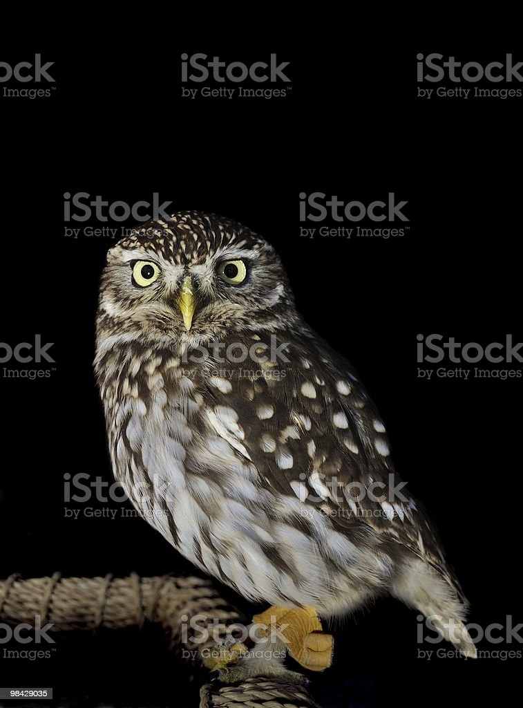 Little Owl, Athene noctua royalty-free stock photo
