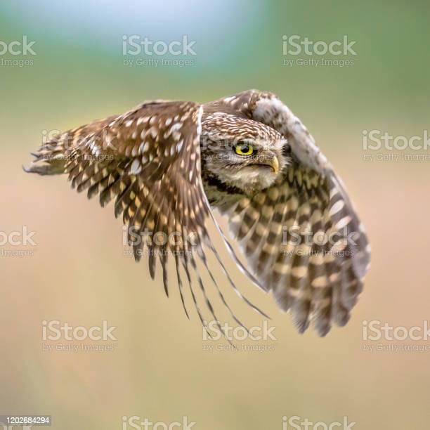 Little owl flying on blurred background square picture id1202684294?b=1&k=6&m=1202684294&s=612x612&h=sydzhmgw cj9uwigrjcwuycyyyiy30x7leigpmim8cc=