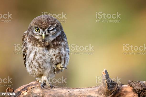 Little owl is on the stone on a beautiful background picture id954198386?b=1&k=6&m=954198386&s=612x612&h=juh7jxngcxs12mlm5mu18znwbor2860wbmtlatce1fc=