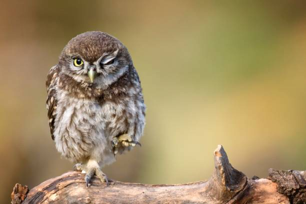 little owl (Athene noctua) is on the stone on a beautiful background stock photo