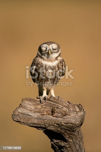 A little owl on a trunk with closed eyes with golden background ,Vertical shot , Italy