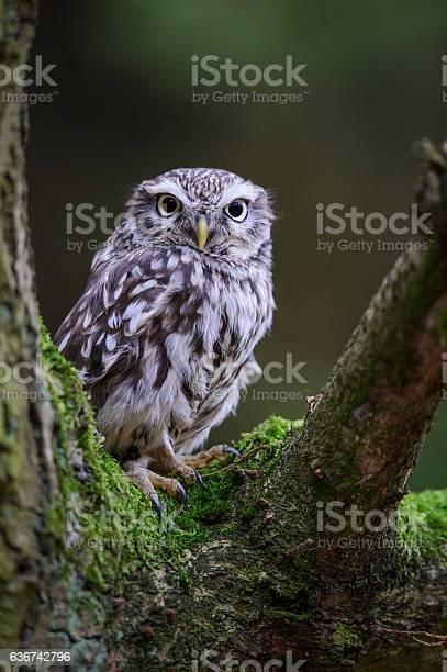 Little owl on tree branch picture id636742796?b=1&k=6&m=636742796&s=612x612&h=oulusleilookfs5ujz0o8z5yilalj0  moxmn8k3lbk=