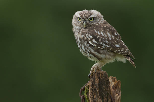 Little Owl Perched On A Post stock photo