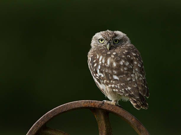 Little Owl Perched On A Rusty Wheel in Worcestershire. stock photo