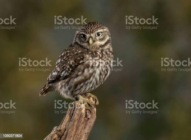 Little owl picture id1050371804?b=1&k=6&m=1050371804&s=612x612&h=loyywztnuwryxpn 83n0v8tyugoxfujb9g5wefjg sw=