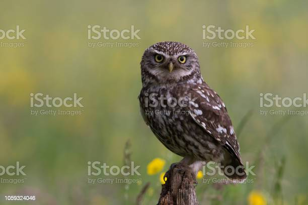 Little owl picture id1059324046?b=1&k=6&m=1059324046&s=612x612&h=mkkhtzt14e68wv7kzjiz uillkmf khdhuijc dbvcq=