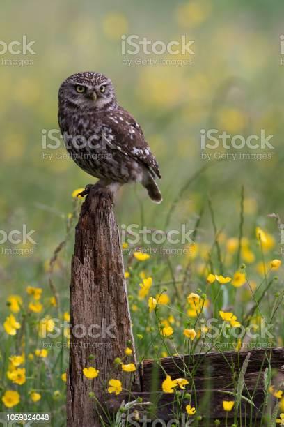Little owl picture id1059324048?b=1&k=6&m=1059324048&s=612x612&h=md 8zsjcqisaprcs0kxrddzofen cs15vot94miw9cm=