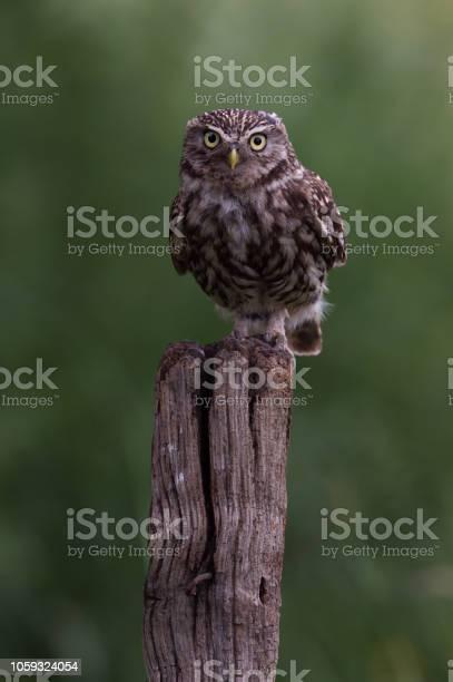 Little owl picture id1059324054?b=1&k=6&m=1059324054&s=612x612&h=e3088zpymopuvexnqb7s sd817nkn9kvdbzdwdc gtw=