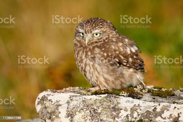 Little owl picture id1128641288?b=1&k=6&m=1128641288&s=612x612&h=phioqnguack3khy 8 t3jvu9qafqetedo 7dbg7tpmu=