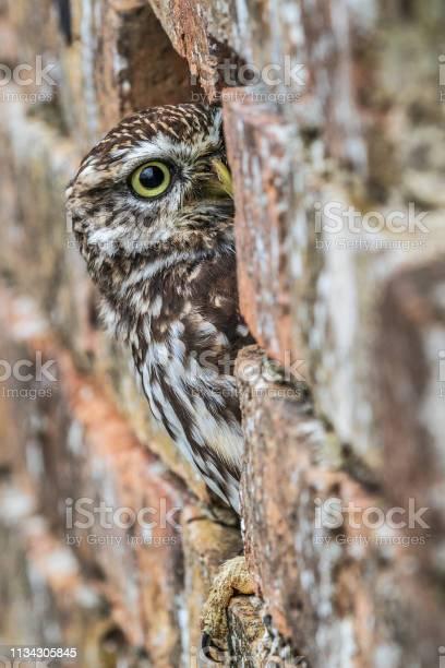 Little owl picture id1134305845?b=1&k=6&m=1134305845&s=612x612&h=m8mlpkjobhte306mu6wd09vioiyg v6 o1elz1t0g e=
