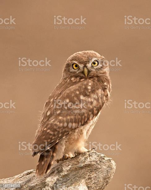 Little owl picture id157749213?b=1&k=6&m=157749213&s=612x612&h=bwnh7gc4jcuclkxodmgso3yxbp1latvr ums0k3shlw=