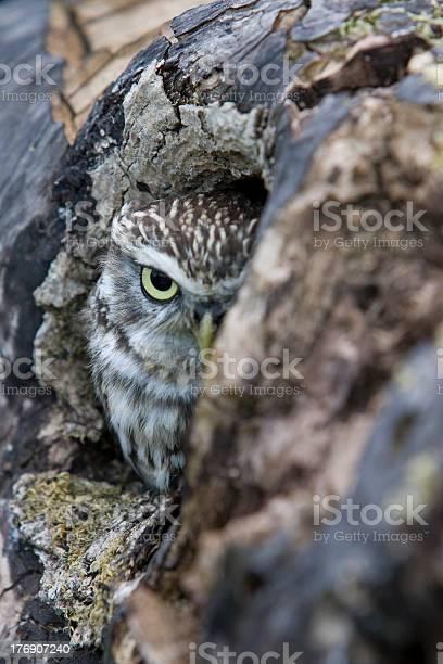 Little owl picture id176907240?b=1&k=6&m=176907240&s=612x612&h=xlxk5mohmer9nzgyim0u0ympxooulylinnxkctompjq=