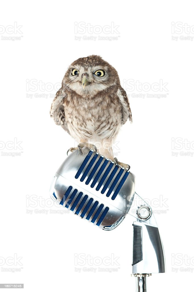 little owl royalty-free stock photo