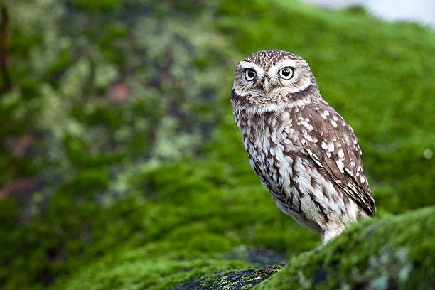 little owl (athene noctua) - owl stock photos and pictures