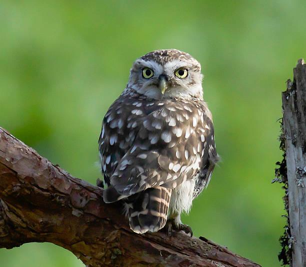 Little owl picture id606236834?b=1&k=6&m=606236834&s=612x612&w=0&h=vhqfbdfbqhty6xmzyvyvoh6payddo7oc vtd7mjog28=