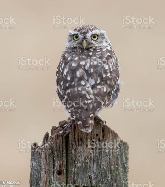 Little owl picture id828502206?b=1&k=6&m=828502206&s=612x612&h=le1c7m9a6d3qapyv7e9sk7ldhj6qfr4vc61lcl4zxm8=