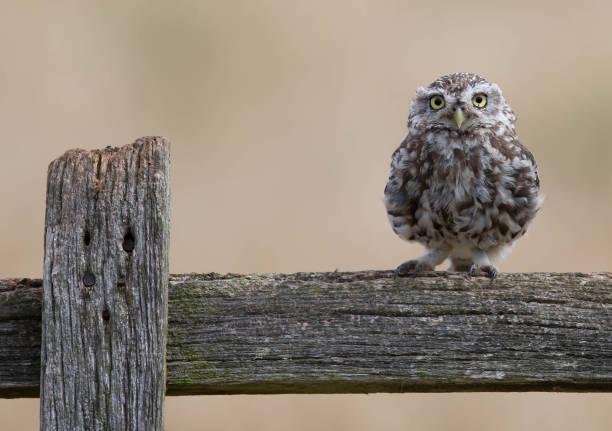 Little owl picture id828507816?b=1&k=6&m=828507816&s=612x612&w=0&h=ahoqngdsklme3rkinjqxxoxpx4 pivov9d7n4mqqjvg=