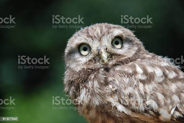 Little owl picture id91327542?b=1&k=6&m=91327542&s=612x612&h=ae83a dsznjwwynzez8mgynqy p 463n8frcmo1ofre=