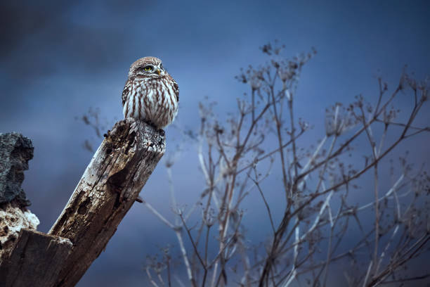 Little owl (Athene noctua) sittin on the ruins of the house in Bulgaria. Small owl in the nature habitat stock photo