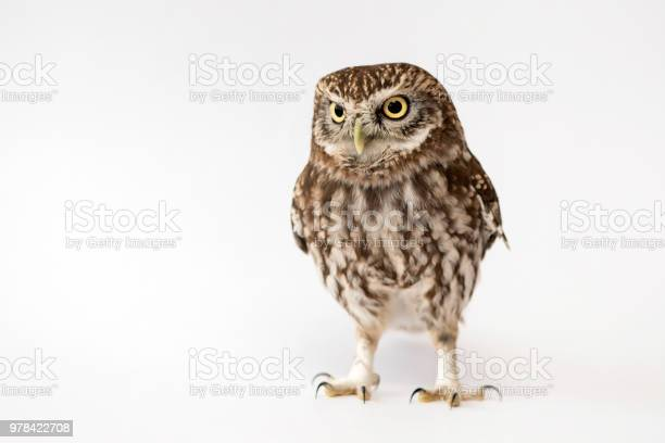 Little owl standing in front of a white background picture id978422708?b=1&k=6&m=978422708&s=612x612&h=d0xj wyx3d56jex95f5t6u ueswne6slmcqovxxewts=