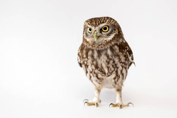 Little owl standing in front of a white background picture id978422708?b=1&k=6&m=978422708&s=612x612&w=0&h=2e sehcvqdnavu5c40alzr0dtkxu5pchbe wrfpbhv4=