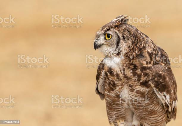 Little owl staring picture id979009864?b=1&k=6&m=979009864&s=612x612&h=3cc8tmsnwbek aehtn5axq21ymvep6hphk7eh vksbo=