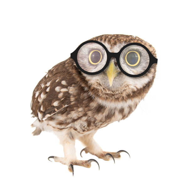 Little Owl wearing glasses, Athene noctua, standing on a white background stock photo