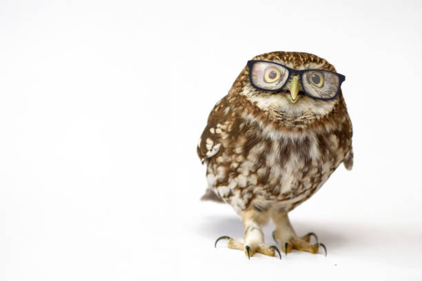 Little Owl wearing glasses, (Athene noctua) standing on a white background stock photo