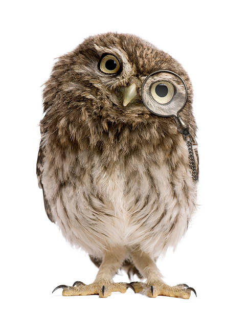 little owl wearing magnifying glass, 50 days old, standing. - owl stock photos and pictures