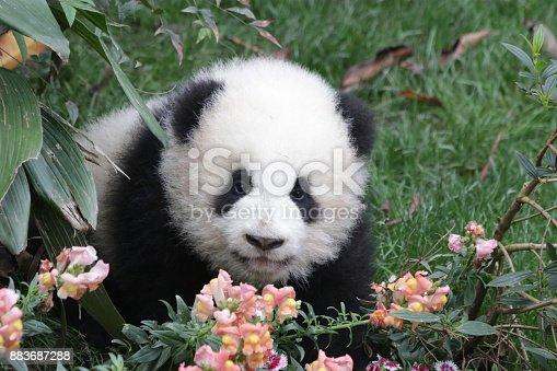 Little Panda Cub is Strolling among the Flowers