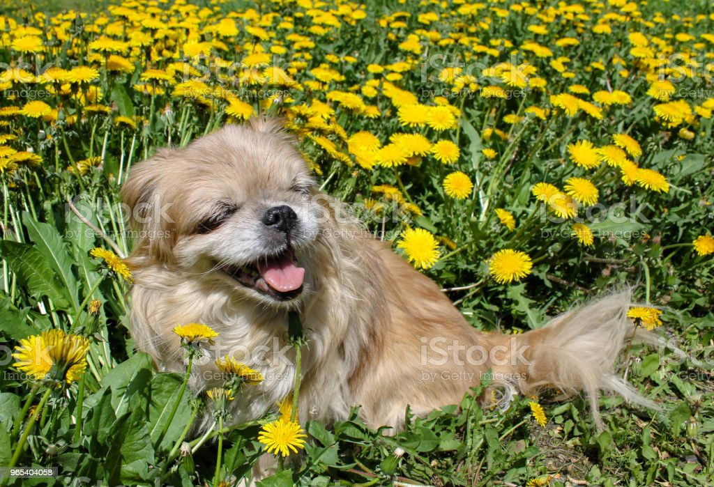 Little Pekingese dog sitting in the grass and smiling royalty-free stock photo