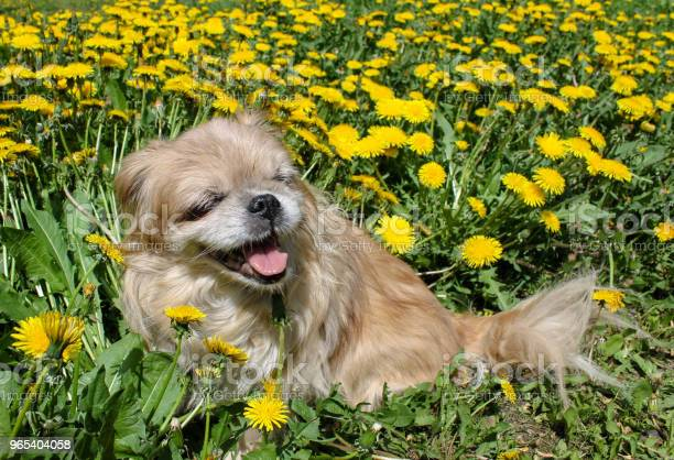Mały Pekińczyk Pies Siedzący W Trawie I Uśmiechnięty - zdjęcia stockowe i więcej obrazów Pekińczyk