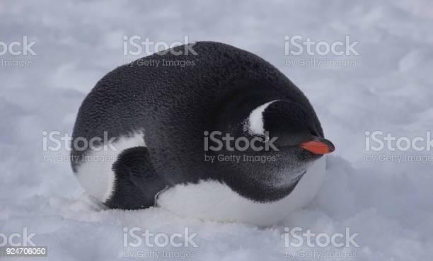 Little penguin in the snow picture id924706050?b=1&k=6&m=924706050&s=612x612&h=88 ey1vcv8w1vecg81acorlg4royskxqbnjvgkglghu=