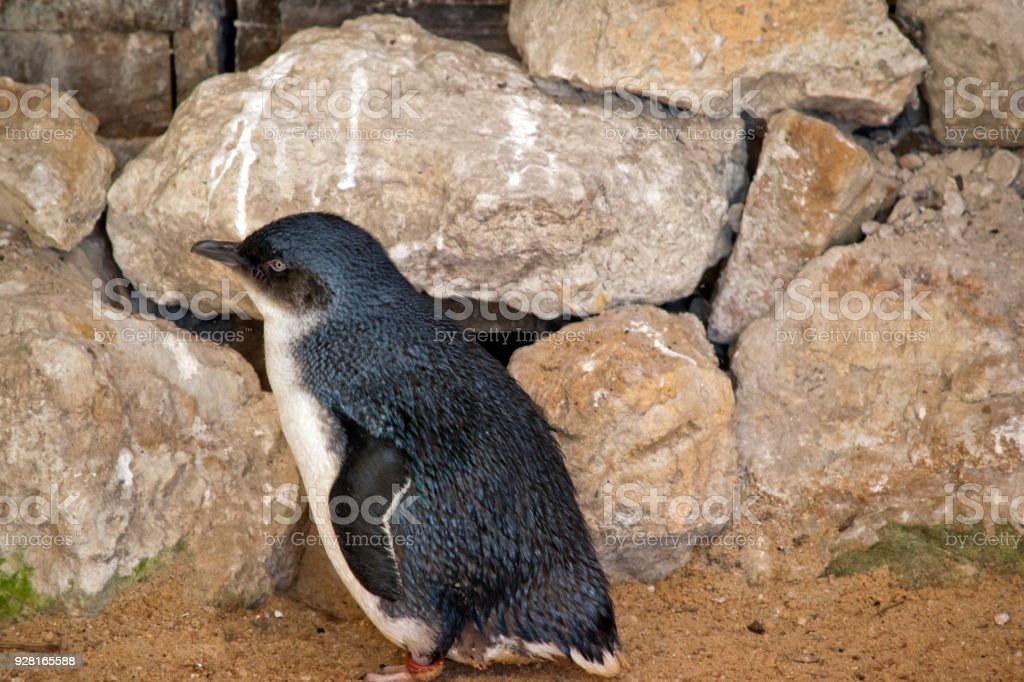 little penguin or fairy penguin stock photo