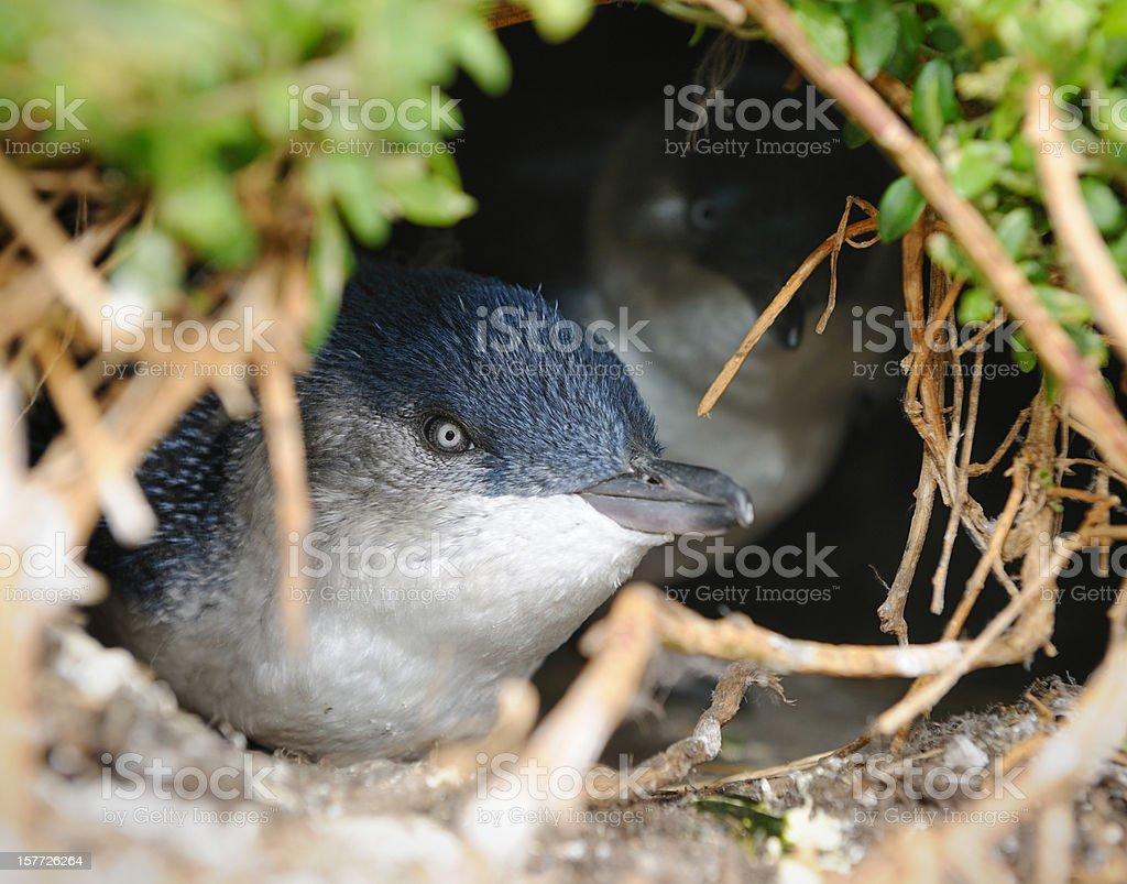 Little Penguin/Fairy Penguin (Eudyptula Minor) nesting in Wildlife, Australia (XXXL) stock photo
