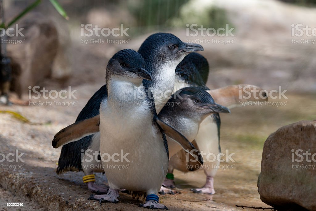 Little Penguins in a row - Stock image stock photo