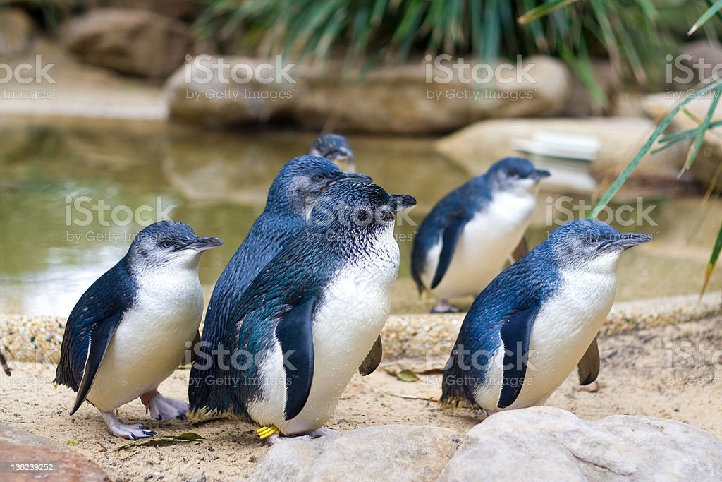 Little Penguins stock photo