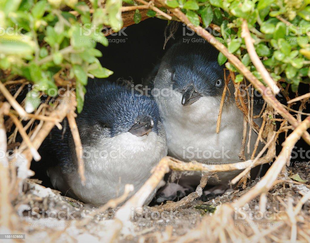 Little Penguins/Fairy Penguins (Eudyptula Minor) breeding in Wildlife, Australia (XXXL) stock photo
