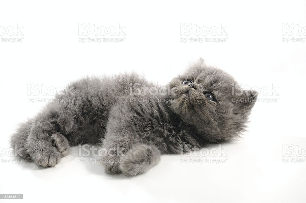 Piccolo Gatto persiano foto stock royalty-free