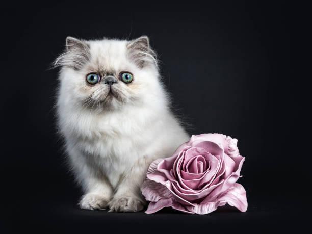 Little persian kitten picture id908708306?b=1&k=6&m=908708306&s=612x612&w=0&h=hbzh6ryiaanh6is bqcewr u7vtjzcku4xrkx6aizb4=