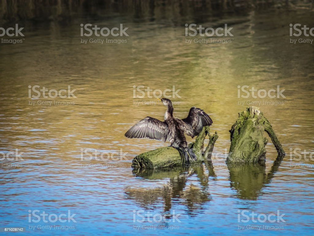 A Little Pied Cormorant sunning its stretched out wings stock photo