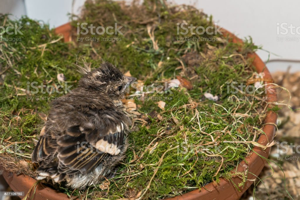 Little pied wagtail sitting in a flower pot stock photo