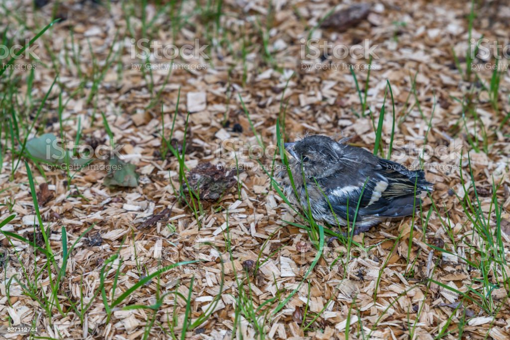 Little pied wagtail sitting on the ground stock photo
