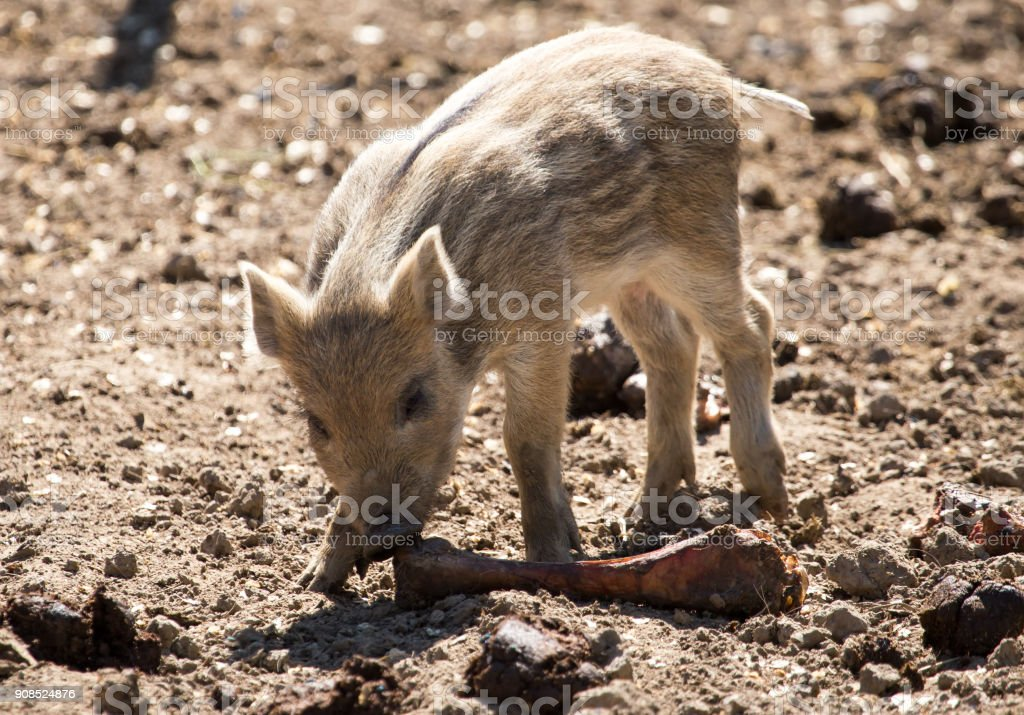 Little pig in the mud at the zoo stock photo