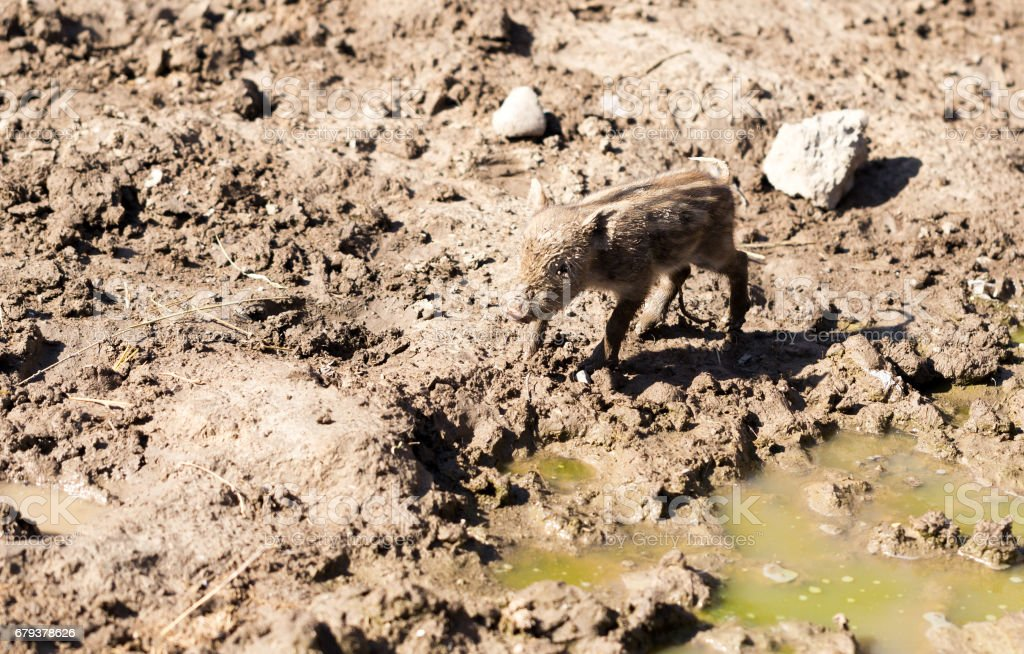 Little pig in the mud royalty-free stock photo